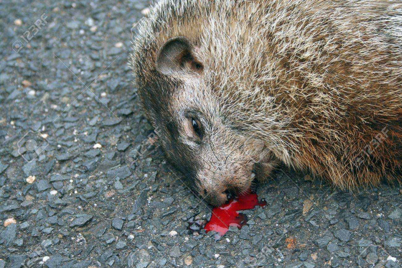 dead groundhog stock photo picture and royalty free image image