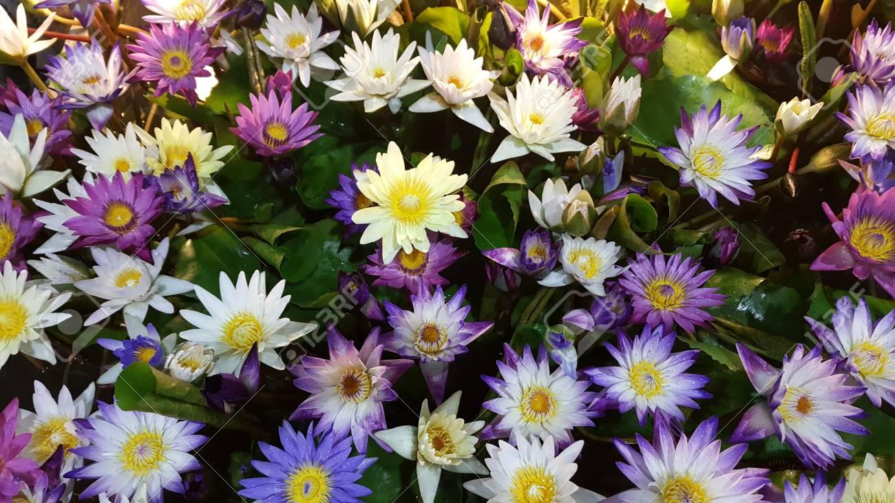 Carta Da Parati Fiori Di Loto : Chiuda sul loto venduto nell expo bello fondo dei fiori carta da