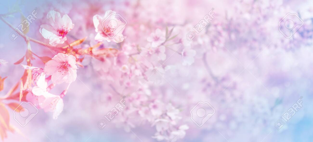 Beautiful spring nature pink blooming cherry tree - 128846151