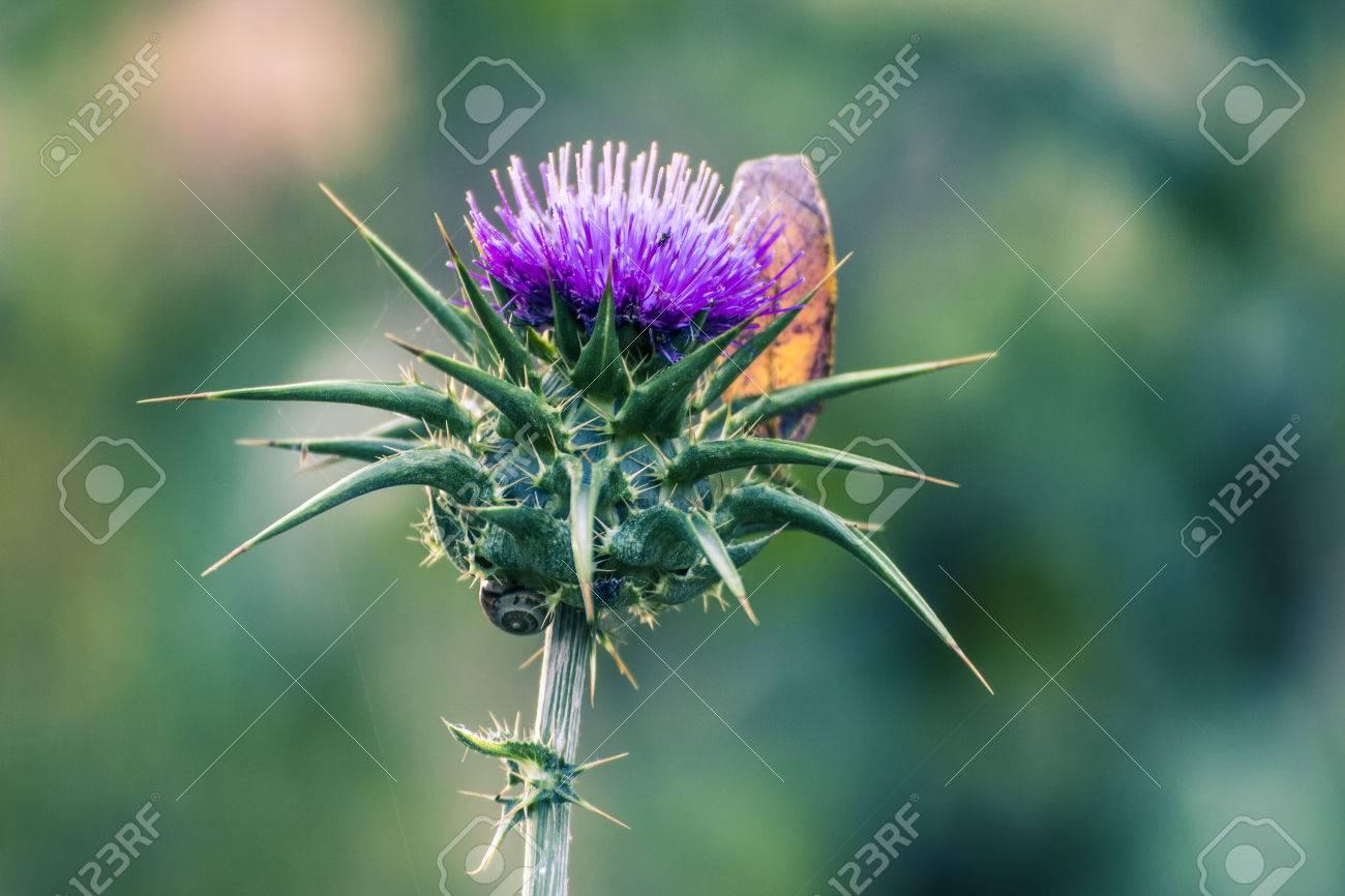 Fleur Du Chardon Et Une Feuille Seche Banque D Images Et Photos