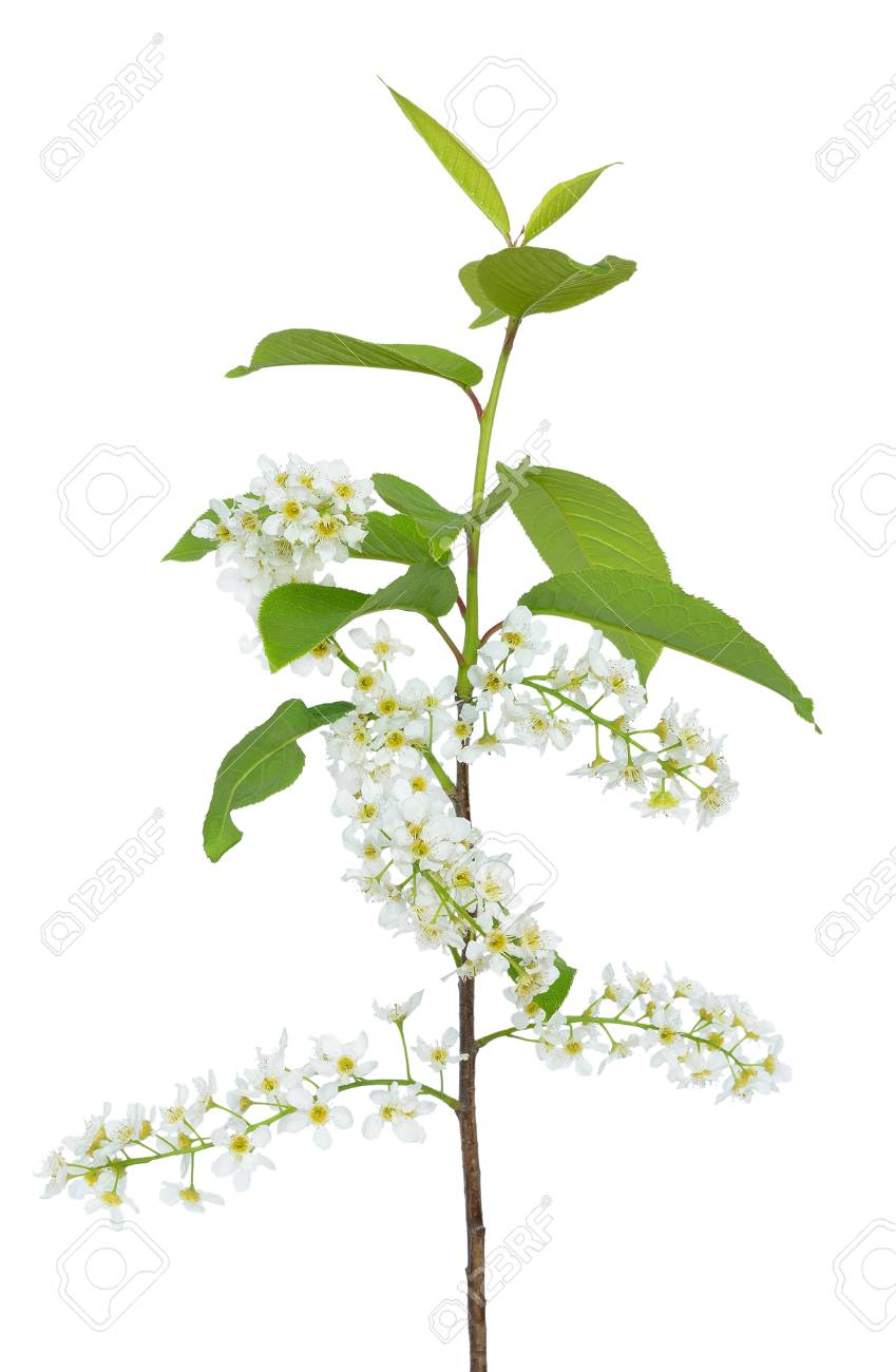 Branch Of Bird Cherry Tree Prunus Padus Isolated On A White