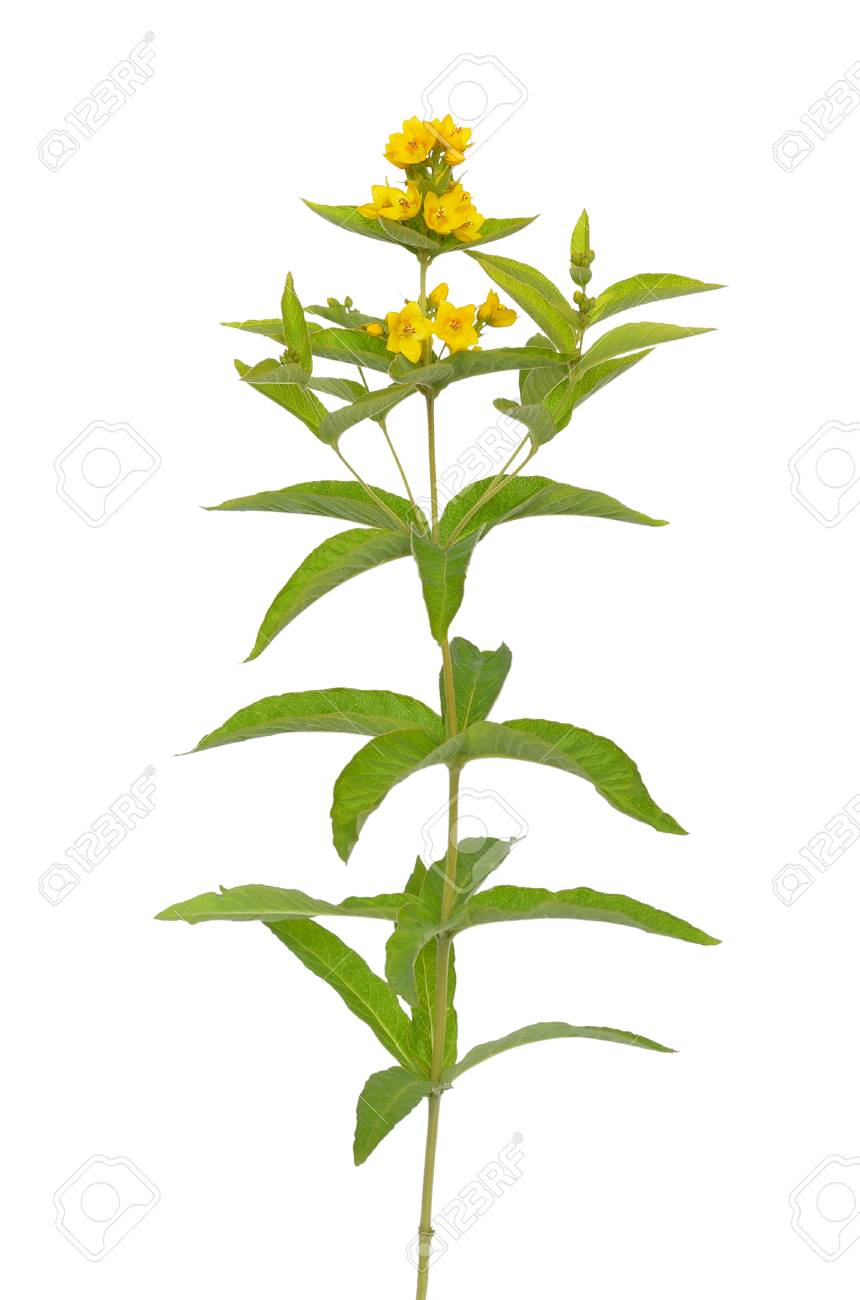 Lysimachia vulgaris flower isolated on white background