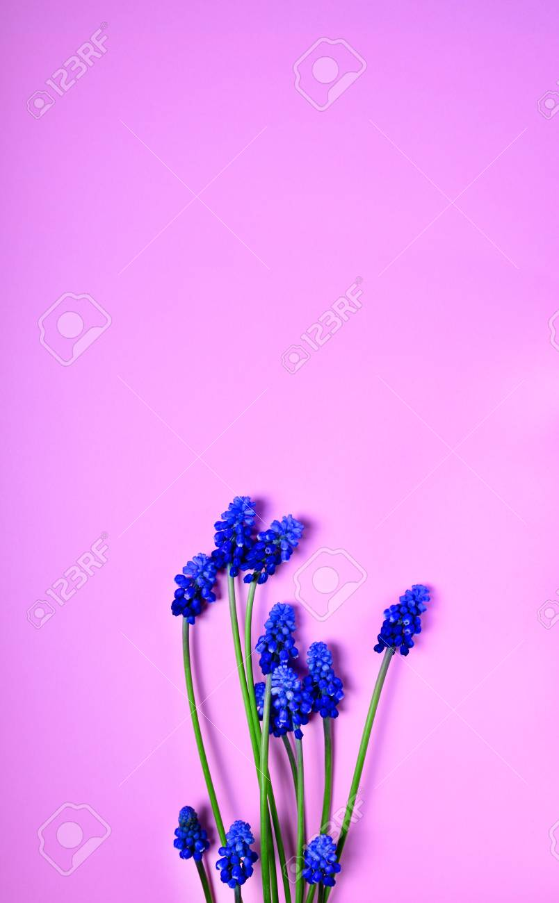 Blue Spring Flowers On A Pink Surface A Muscarian Flower Or Stock