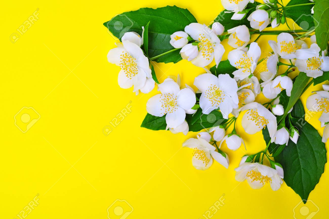 Branches with white jasmine flowers on a yellow background empty branches with white jasmine flowers on a yellow background empty space on the left stock izmirmasajfo