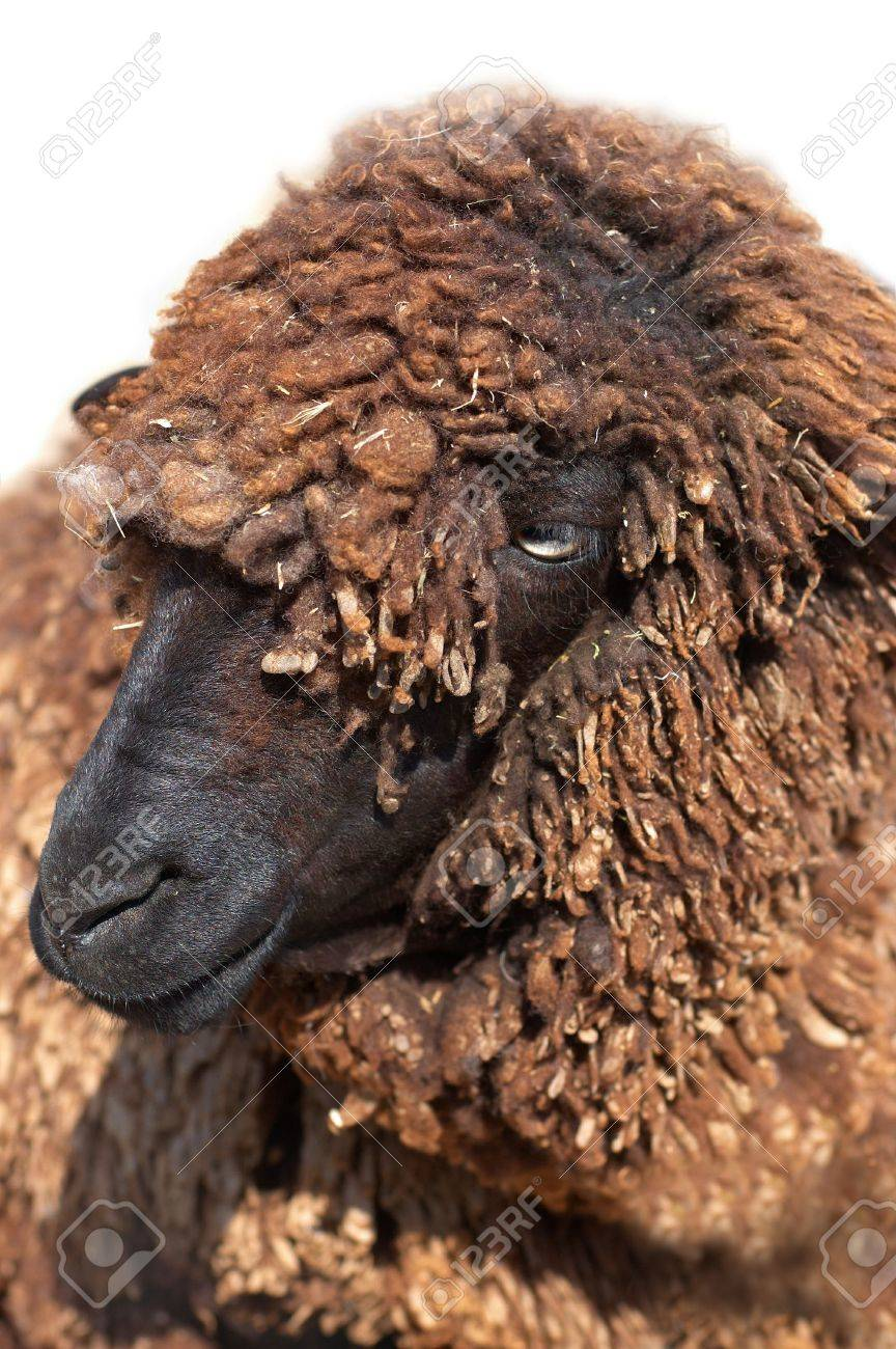 Karakul Sheep Pictures Black Karakul Sheep