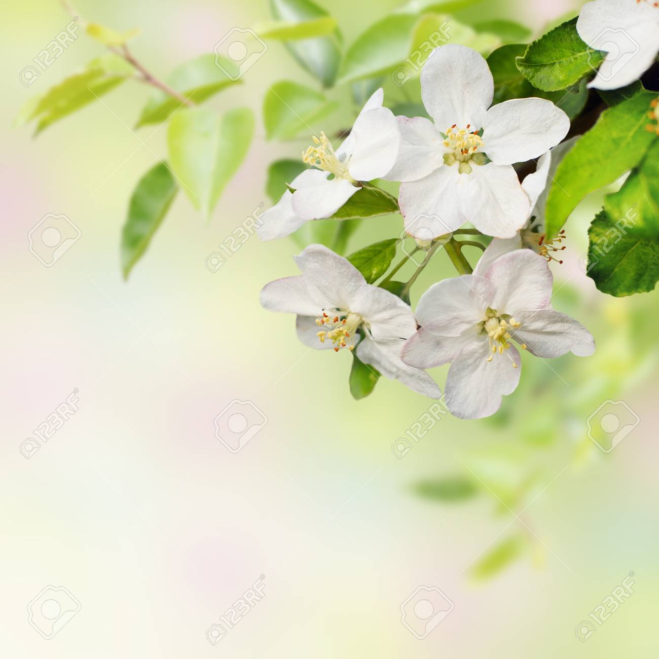 Beautiful  spring blossoming apple tree Stock Photo - 11265971