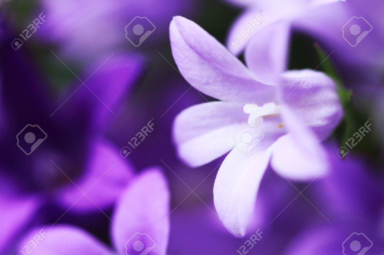 Close-Up of violet colored Campanula Bellflowers Stock Photo - 11839041