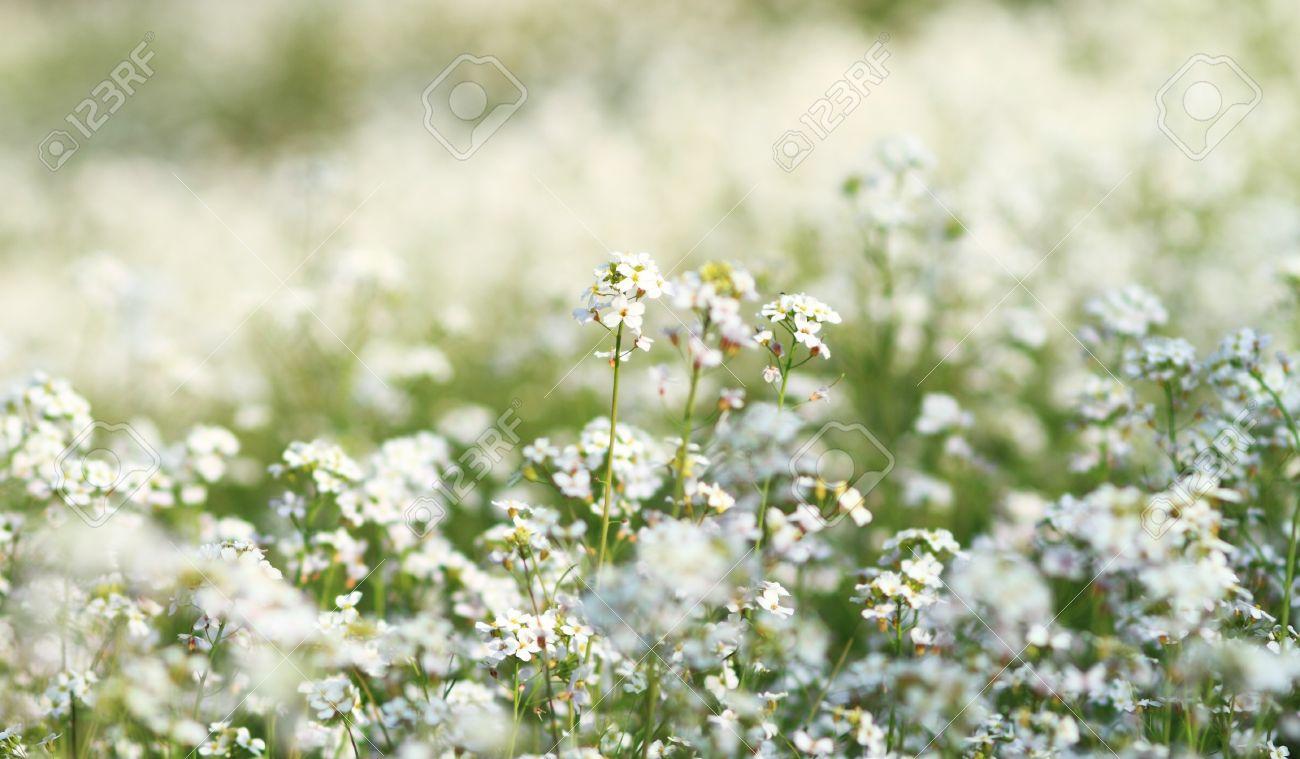 Beautiful white flowers in meadow stock photo picture and royalty beautiful white flowers in meadow stock photo 13497424 mightylinksfo