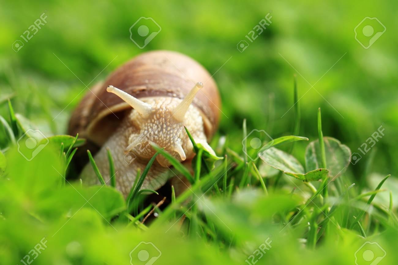 Crawler snail  Creeper snail after rain on the grass  Helix pomatia Stock Photo - 17511796