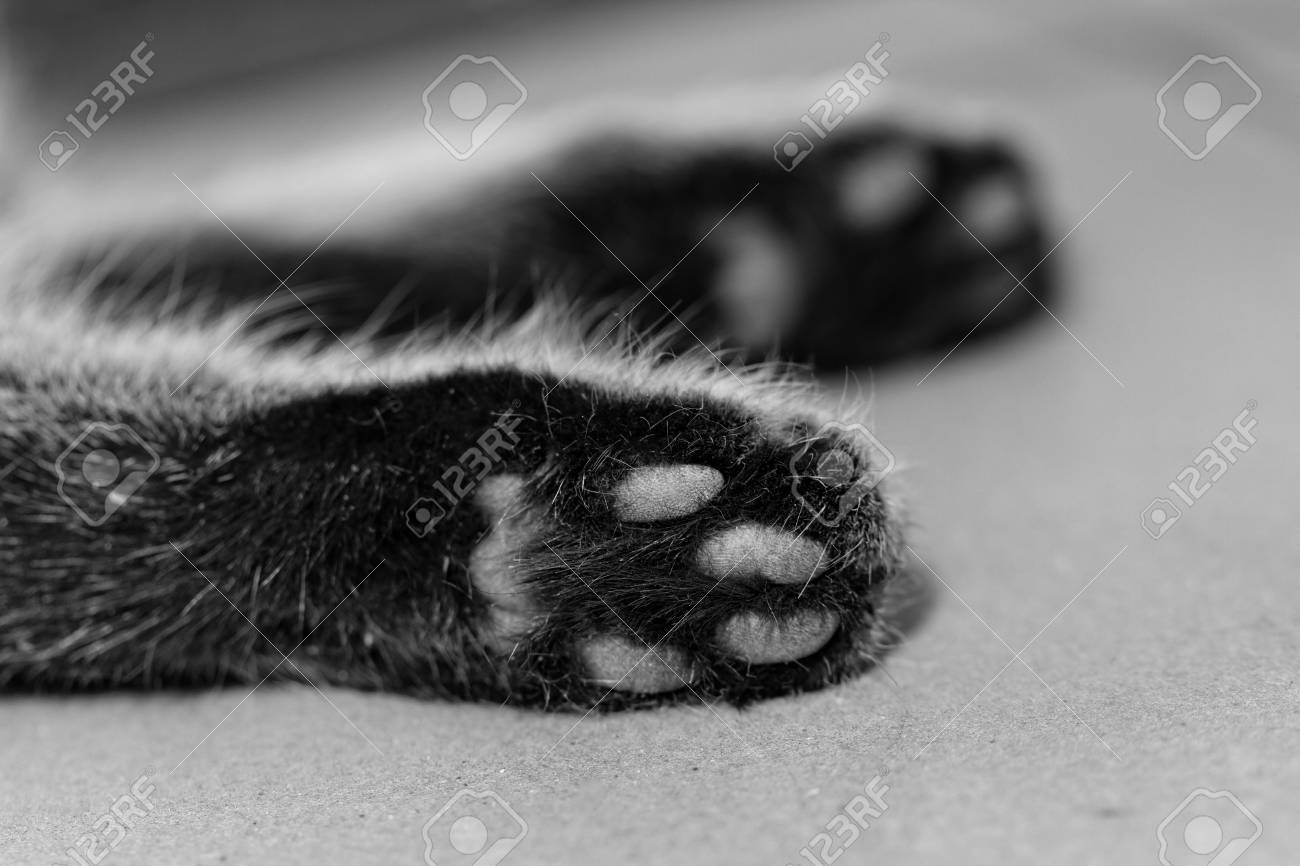 Stock Photo - Tabby cat feet close-up - black and white d23128863