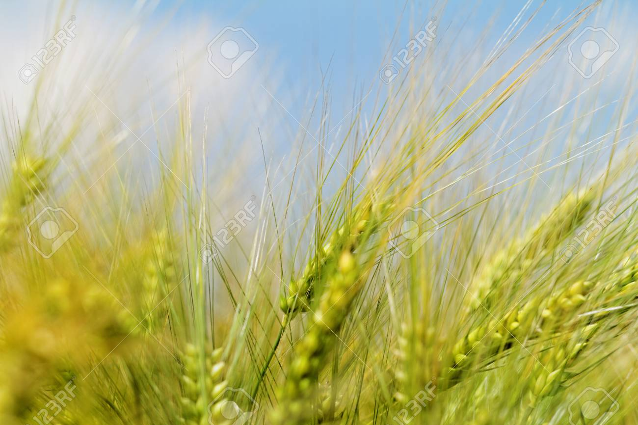 Green and yellow wheat on a grain field in spring  (macro photo) Stock Photo - 24145284