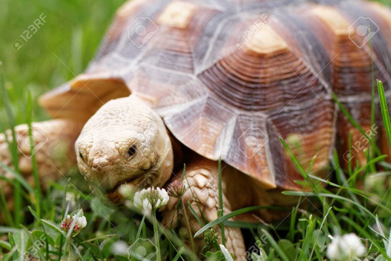 Cute Turtle Crawling On The Green Grass Stock Photo Picture And Royalty Free Image Image 58522824