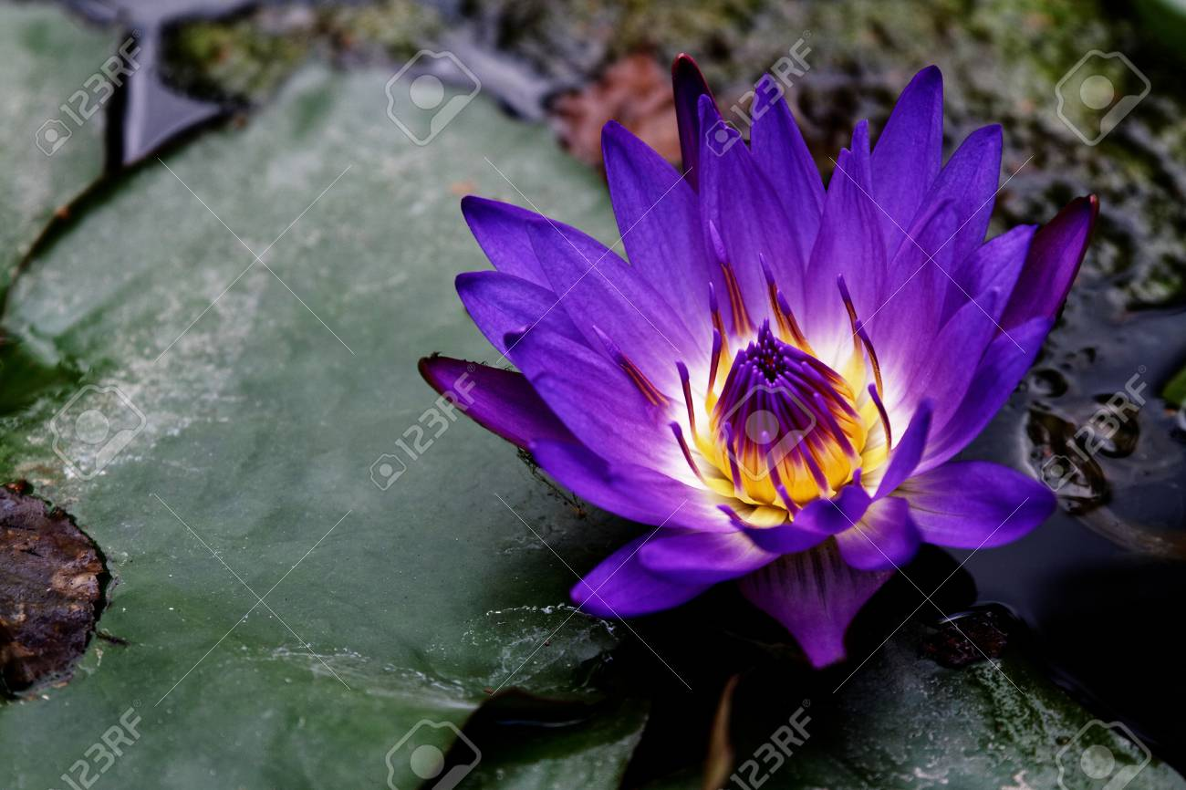 Beautiful Purple Lotus Flower On The Lake Stock Photo Picture And
