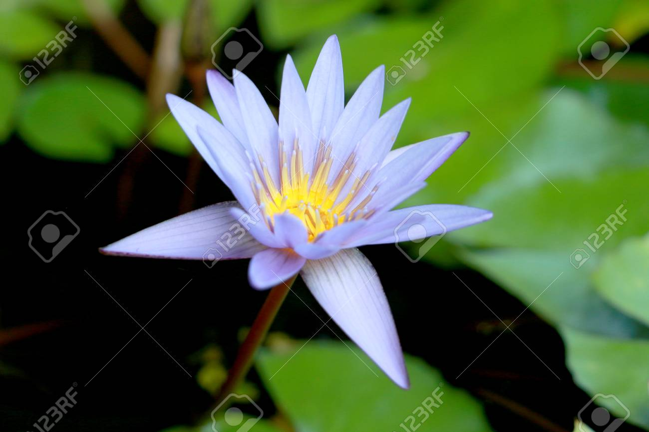 This beautiful waterlily or purple lotus flower is complimented by reklamn fotografie this beautiful waterlily or purple lotus flower is complimented by the drak colors of the deep blue water surface izmirmasajfo
