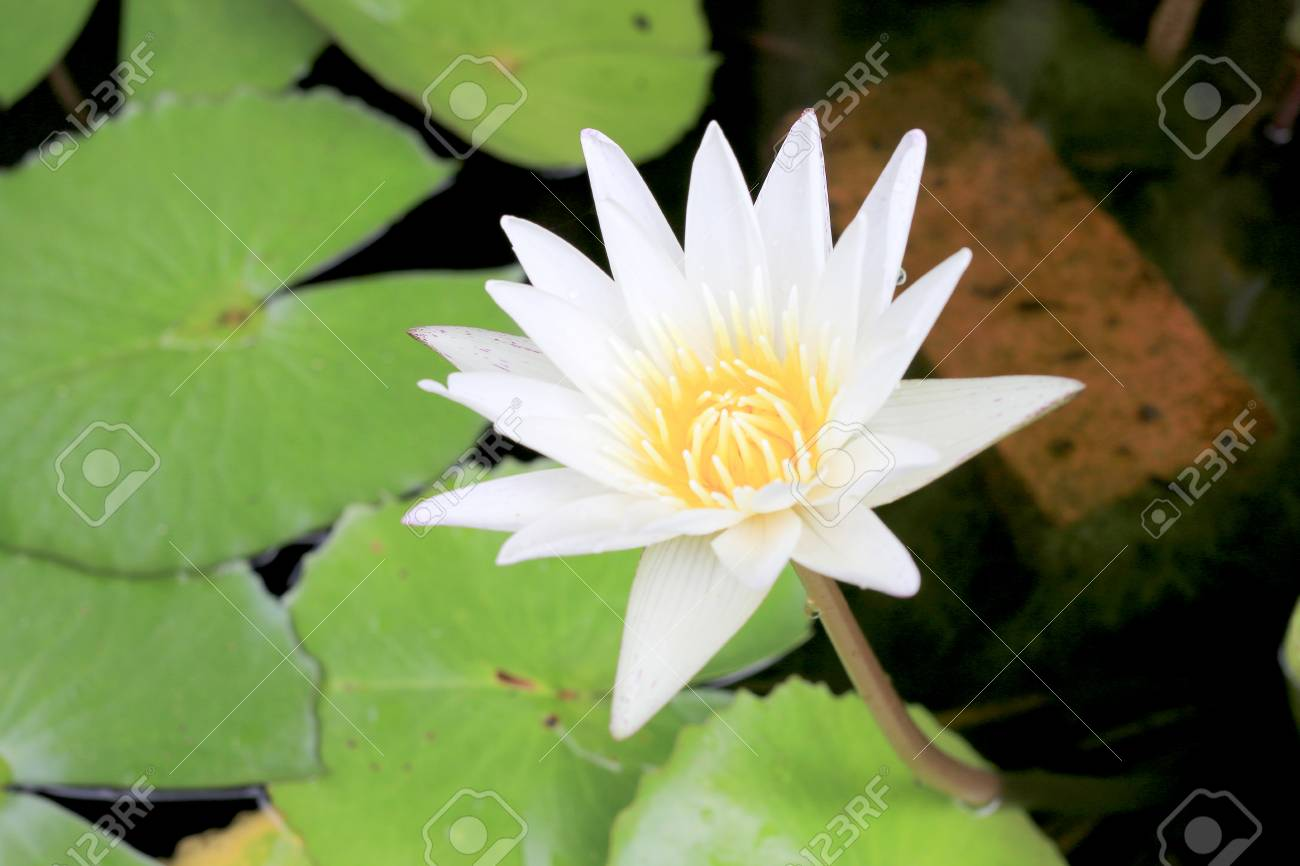 Beautiful Lotus Flower In Pond Is The Symbol Of The Buddha Thailand