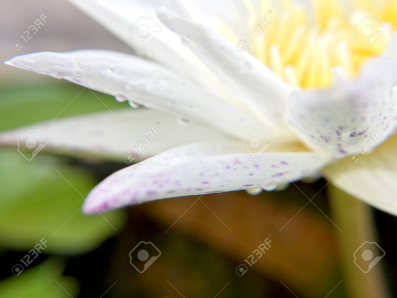 Beautiful White Lotus Flower With Water Droplets On The Petals