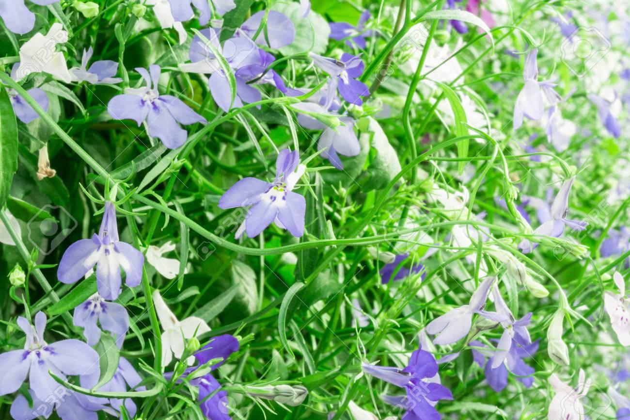 Blue And White Trailing Lobelia Sapphire Flowers Or Edging Lobelia