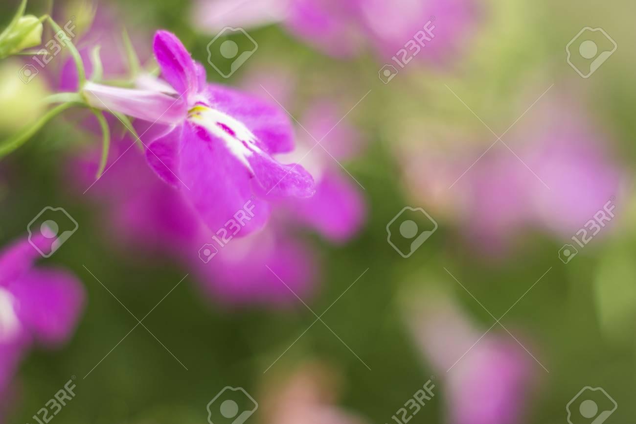 Flores Moradas Lobelia Sapphire Que Se Arrastran O Lobelia De Borde