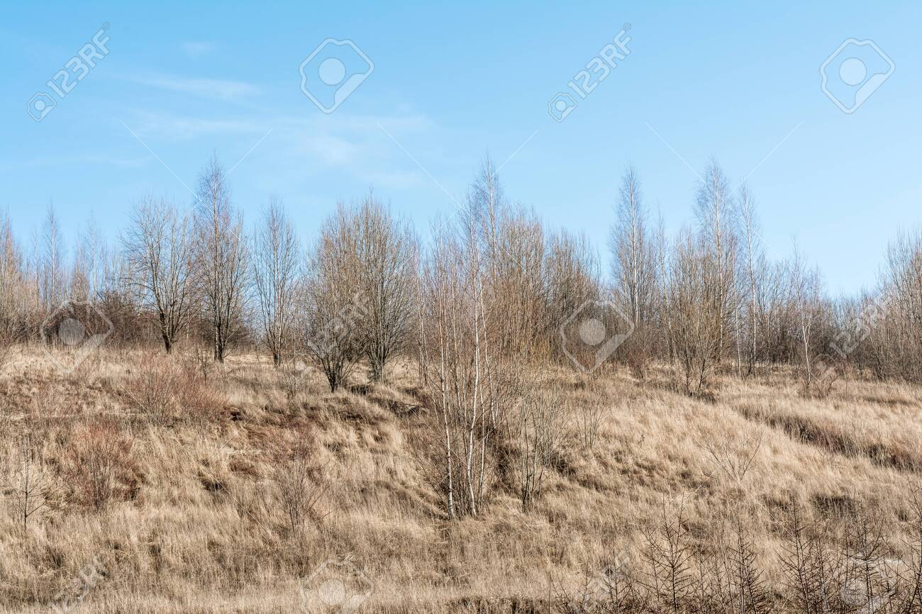 The hill with the dry grass with pine trees and birch trees on the blue skay with clouds background - 141875196
