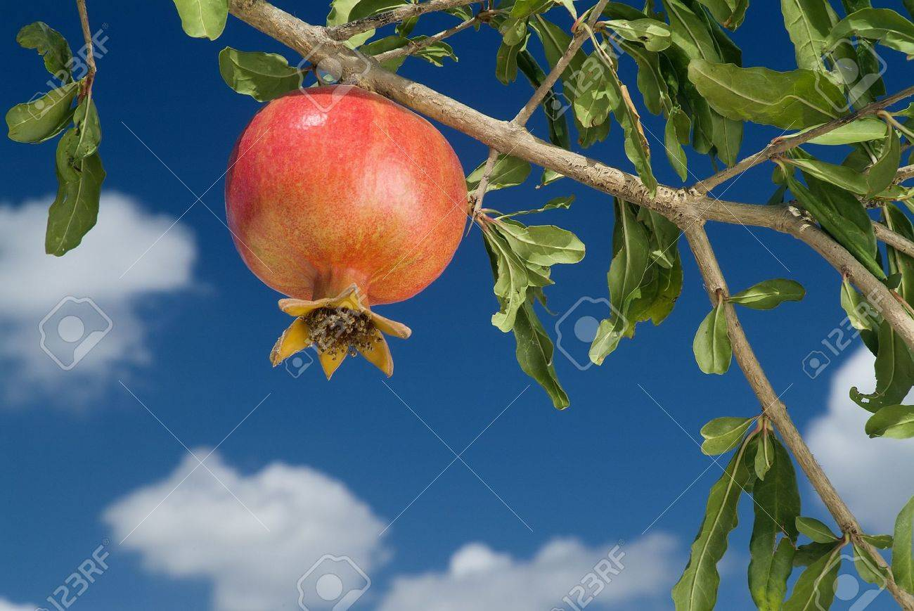 pomegranate on branch Stock Photo - 1736235