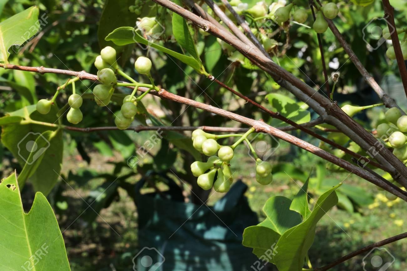 Javanese honey rose apple plant, fruit and wax jambu