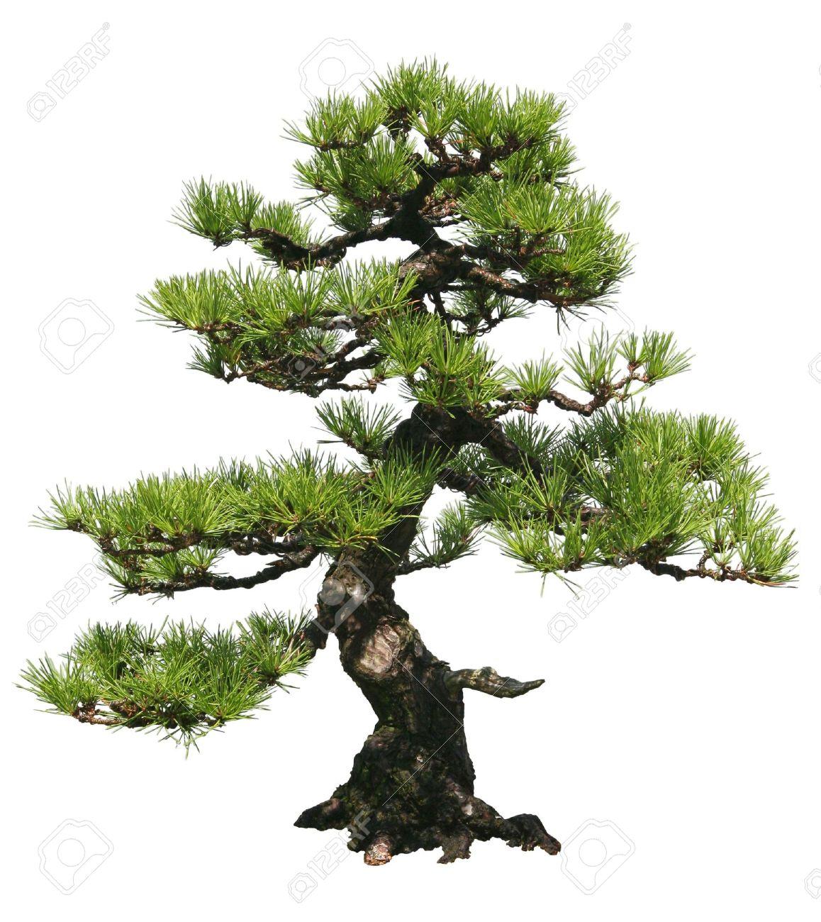 A bonsai tree over a white background Stock Photo - 5562778