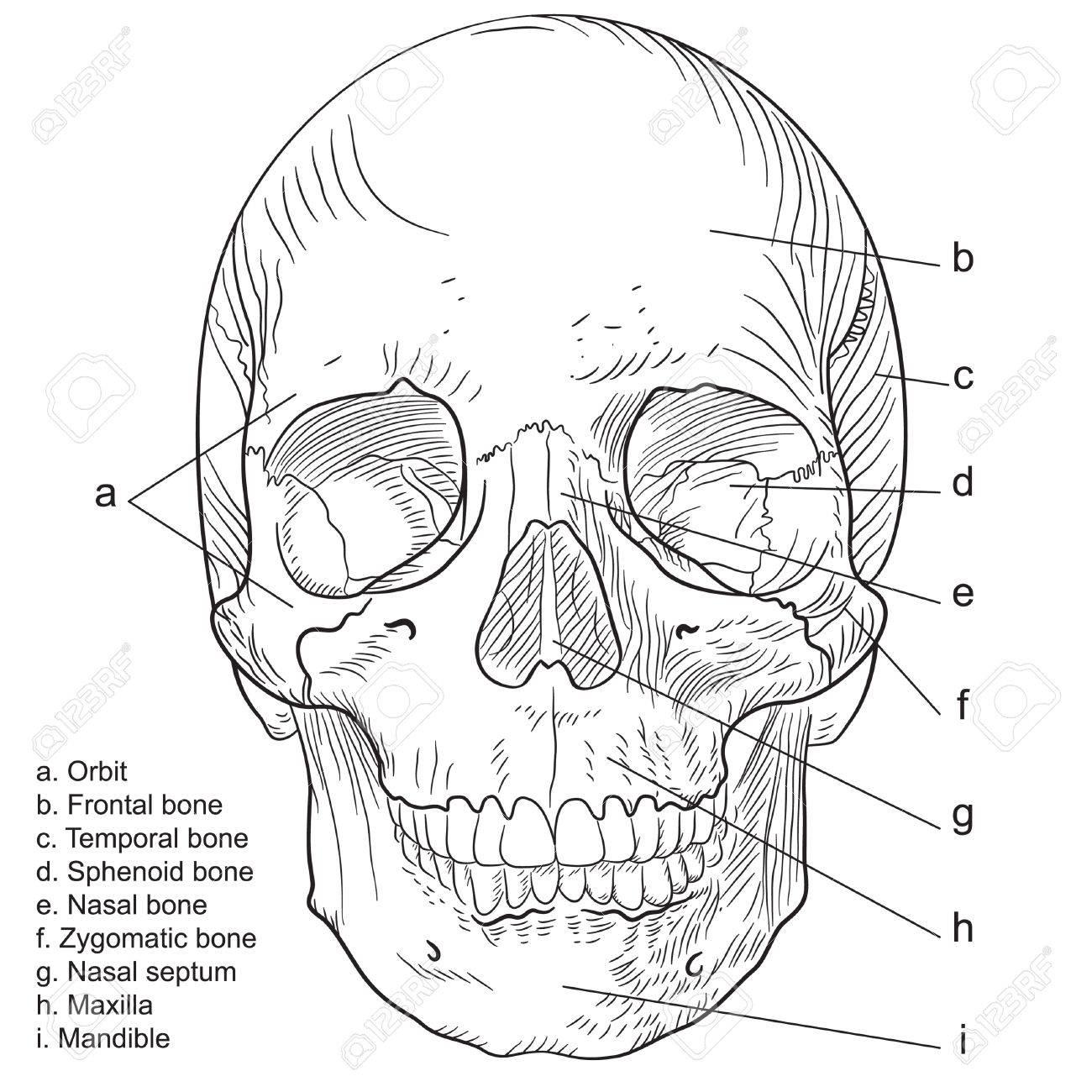 Aspecto Frontal Del Cráneo Humano Ilustraciones Vectoriales, Clip ...
