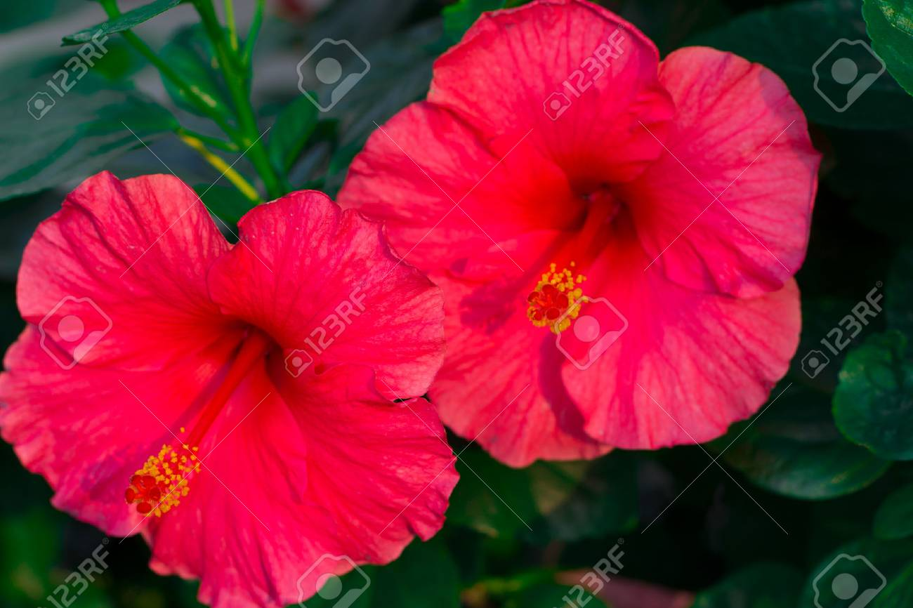 Rose Of China Pink Flower Stock Photo Picture And Royalty Free
