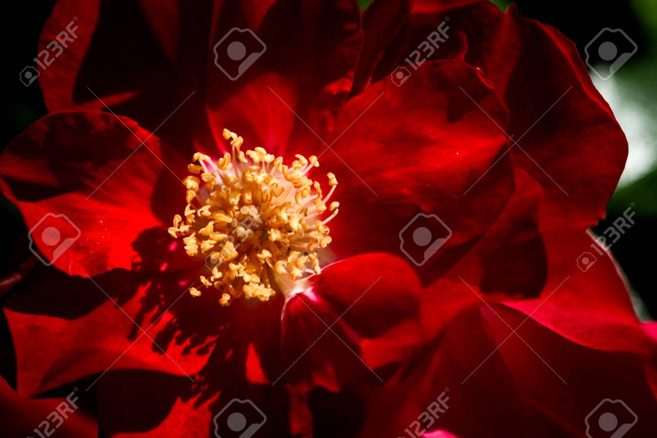 Red flower yellow stamens stock photo picture and royalty free red flower yellow stamens stock photo 79453287 mightylinksfo