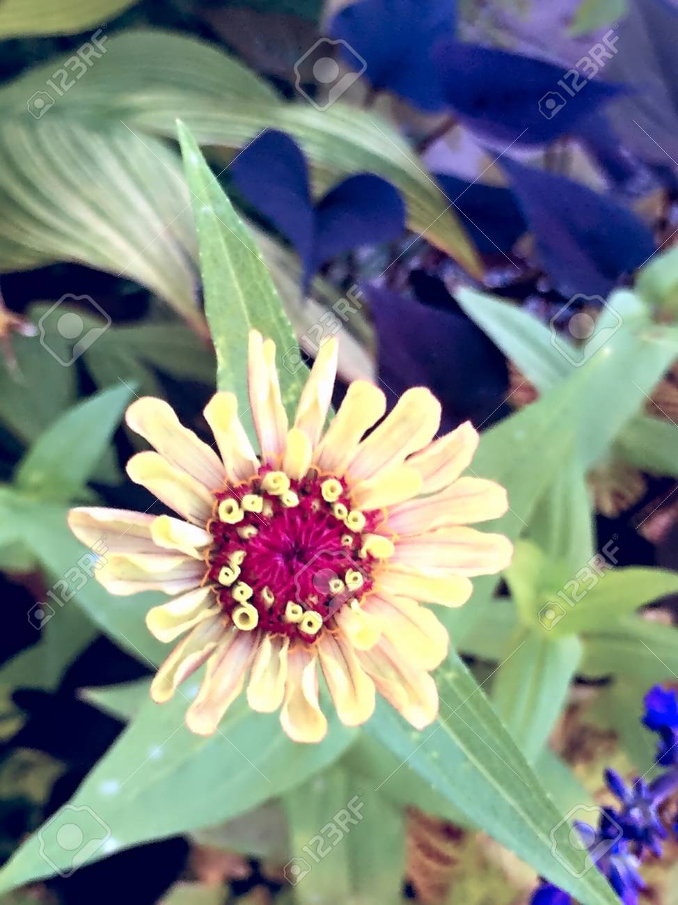 Yellow Zinnia Flower With Red Center Stock Photo Picture And