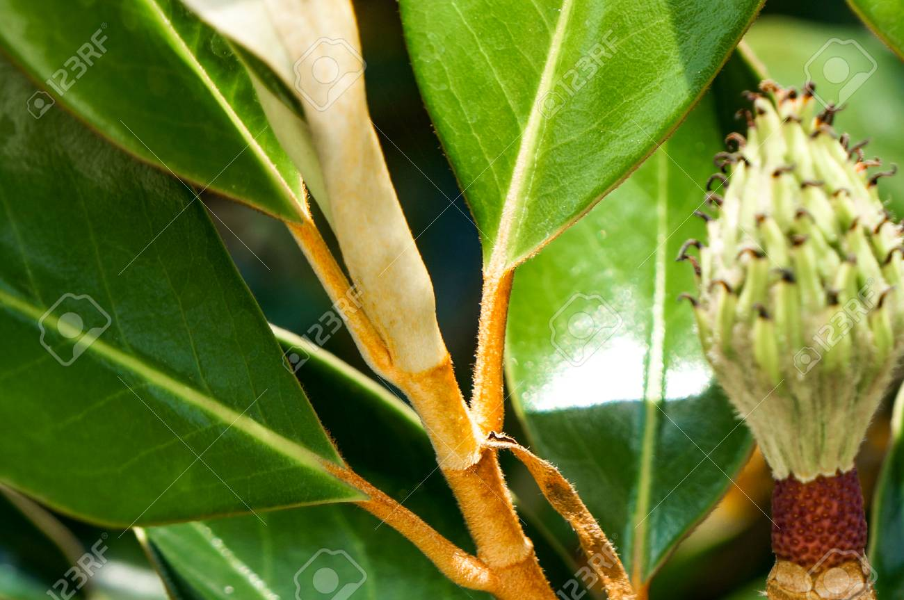Magnolia Tree Leaf And Seed Pod Stock Photo Picture And Royalty