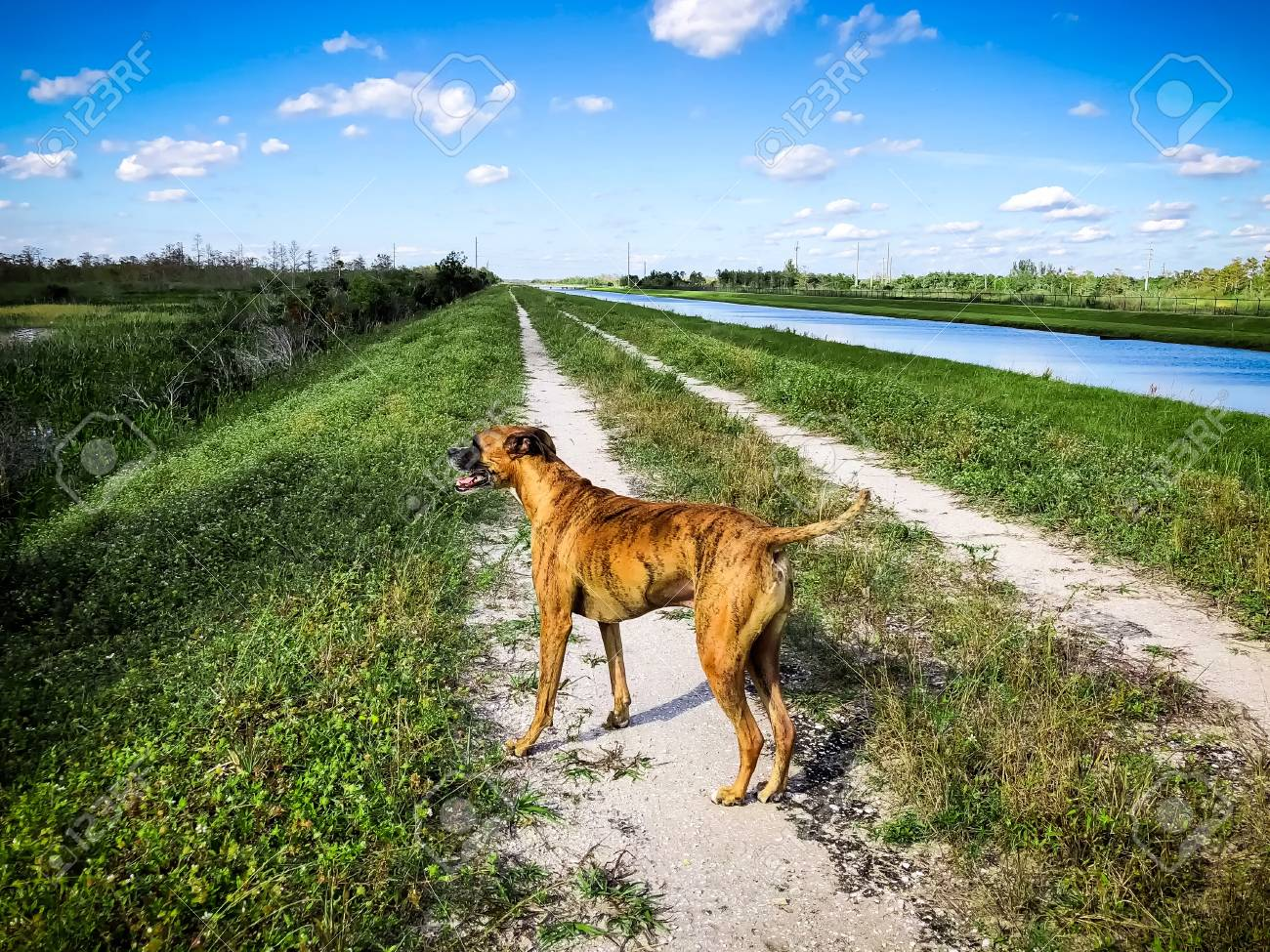 Boxer Dog At The Loxahatchee Slough Natural Area In Palm Beach ...
