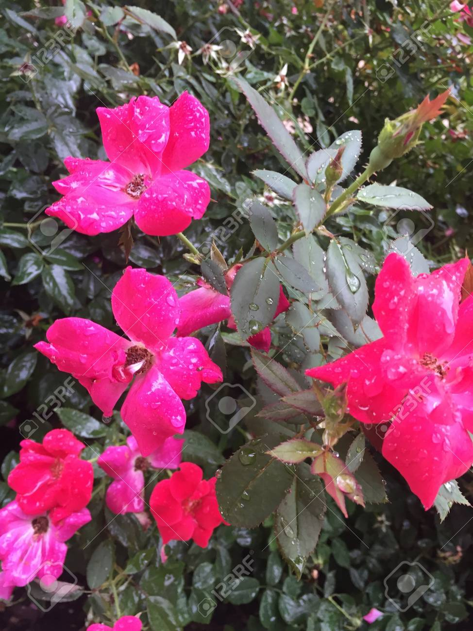 Rain Falling On Hot Pink Rose Flowers Stock Photo Picture And