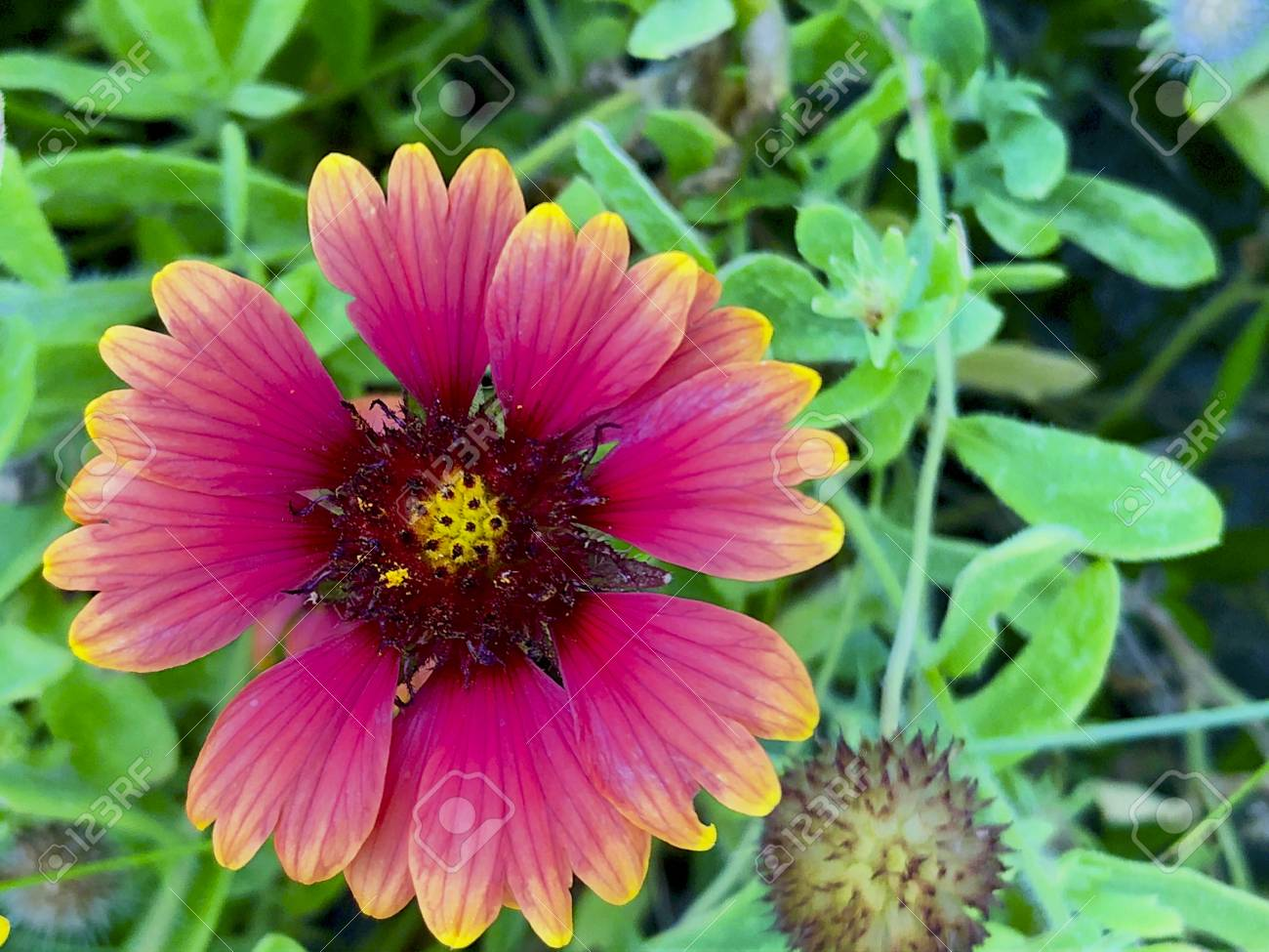 Red Orange And Yellow Sunflower In South Florida By The Beach Stock
