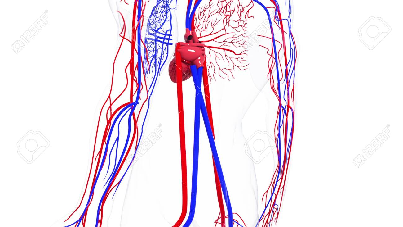 Rotating model of the human circulatory system from head to toe. 3d rendering blood vessels. The medical background, computer generated. - 144702528