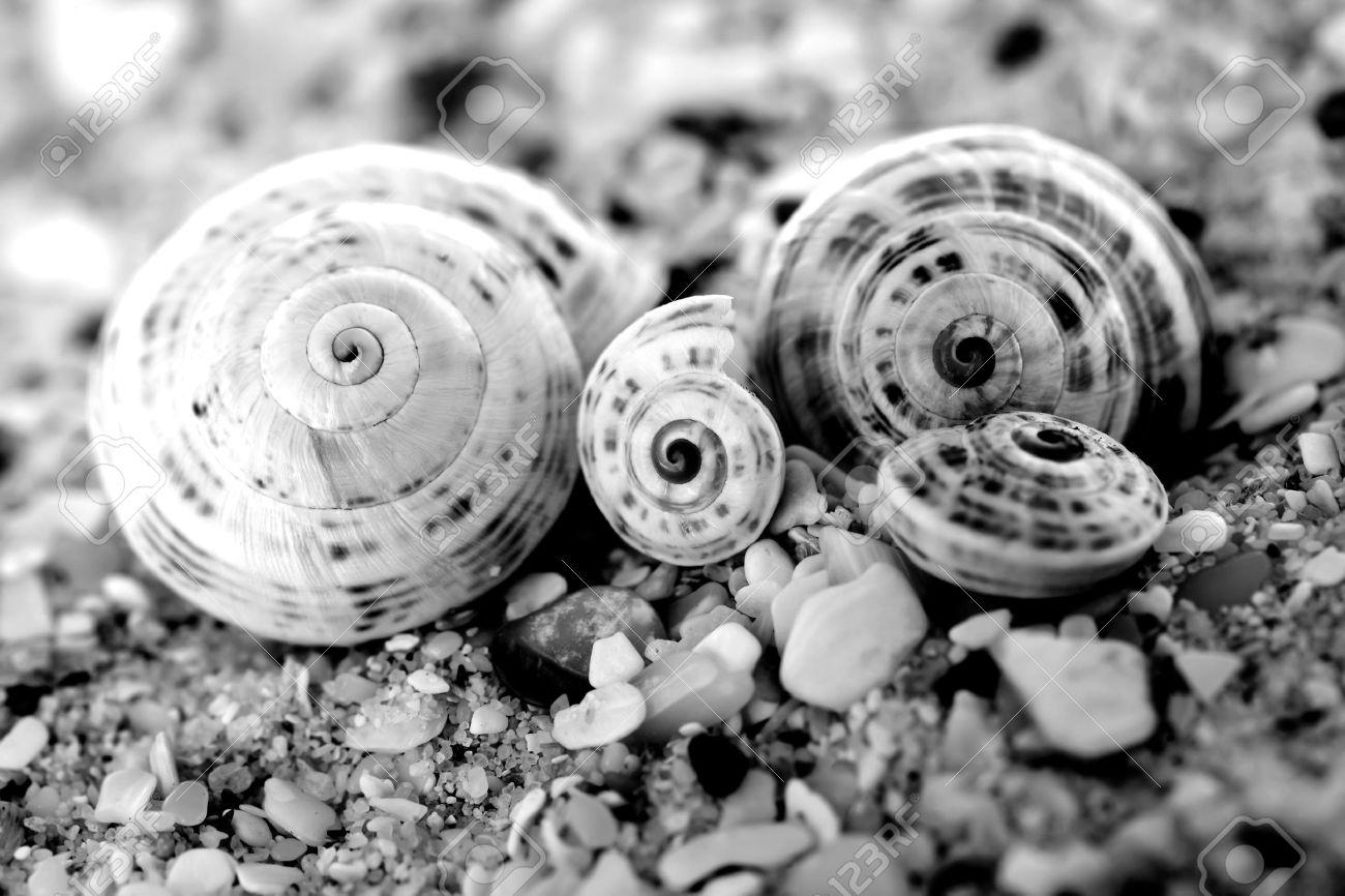 Black white photo of four sea shells