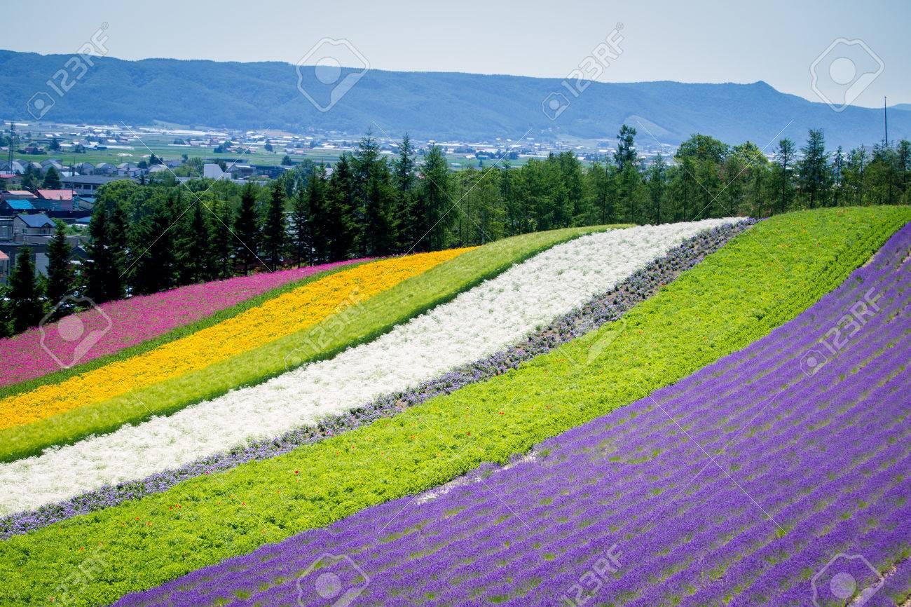 Beautiful Lavender Garden In Fulano Hokkaido, Japan. Stock Photo   42973160