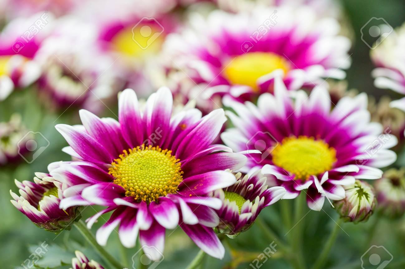 Schöne Blumen Garten Nahaufnahme Hintergrund Lizenzfreie Fotos