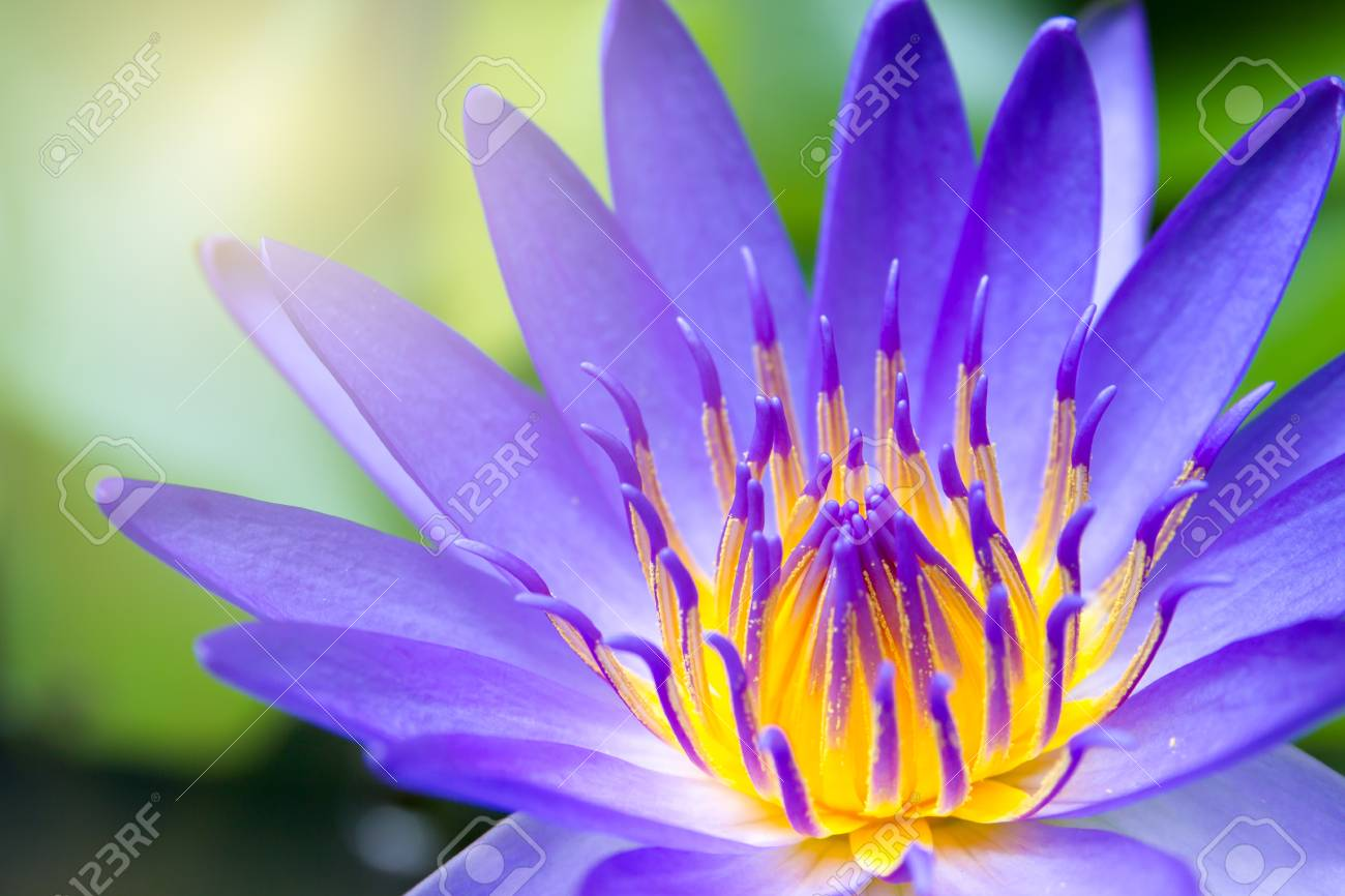 Beautiful Big Lotus In Lake Close Up Stock Photo Picture And