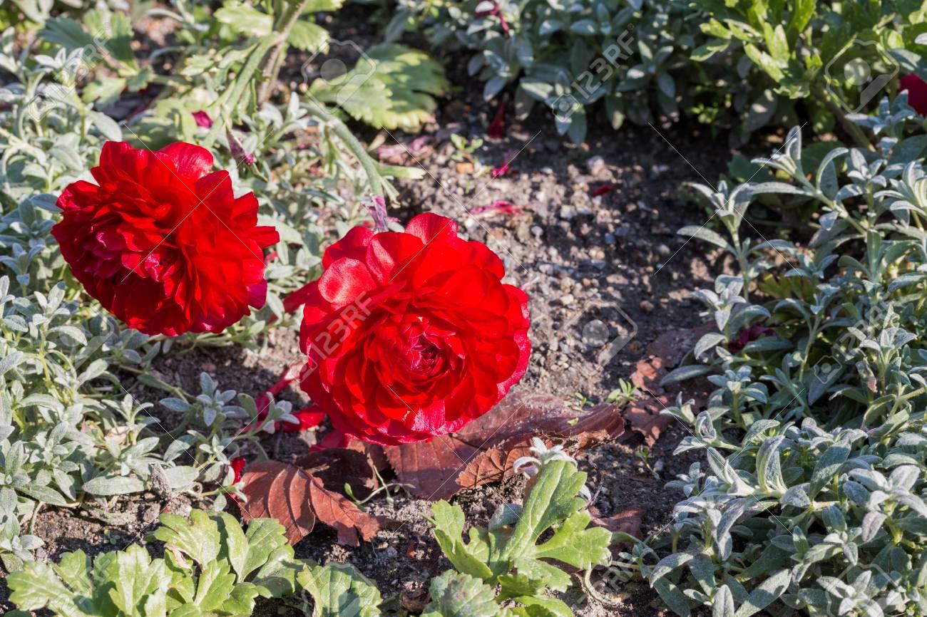 Red Persian Buttercup Flowers Ranunculus In Flower Garden Stock