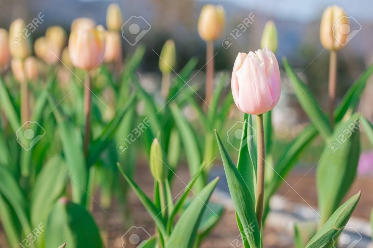 Tulipanes Amarillos Florales Hermosas En Las Flores De Jardin Fotos
