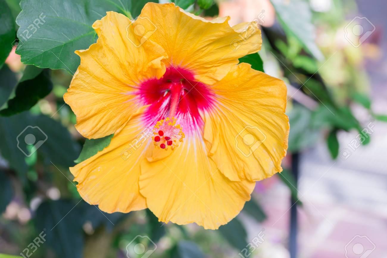Hibiscus Yellow Flower In Flower Garden Close Up Stock Photo