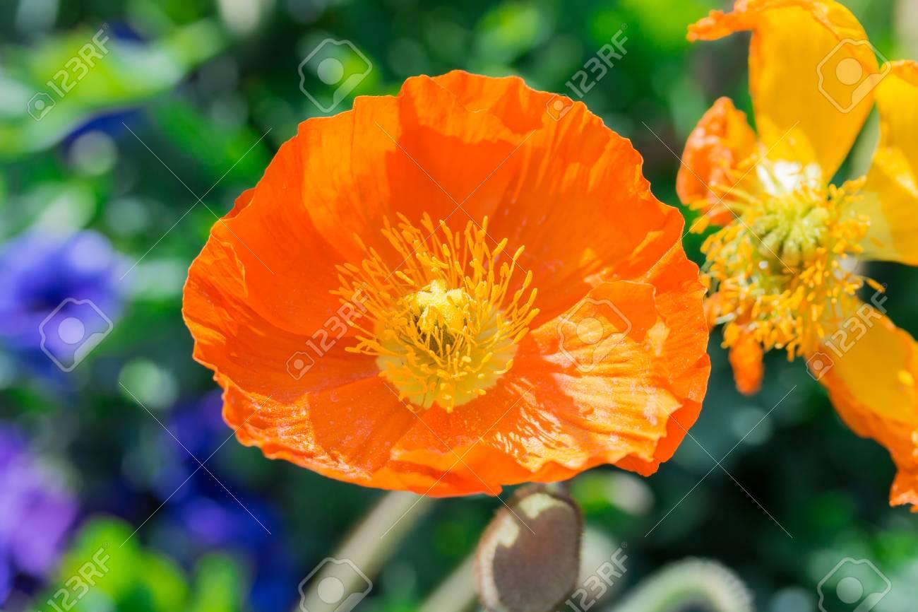 Close Up Of A Orange Iceland Poppy Flowerscientific Name Papaver