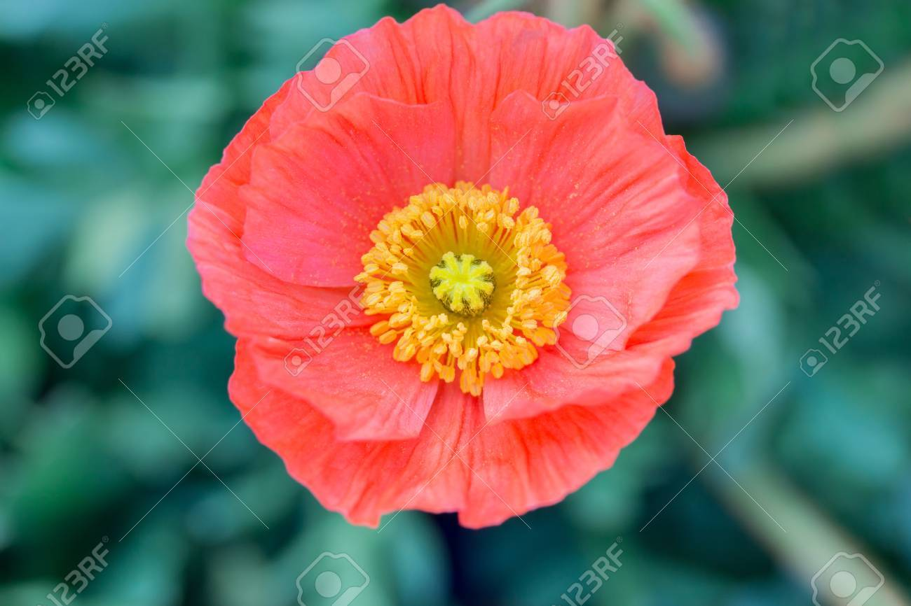 Close Up Of A Red Iceland Poppy Flowerscientific Name Papaver