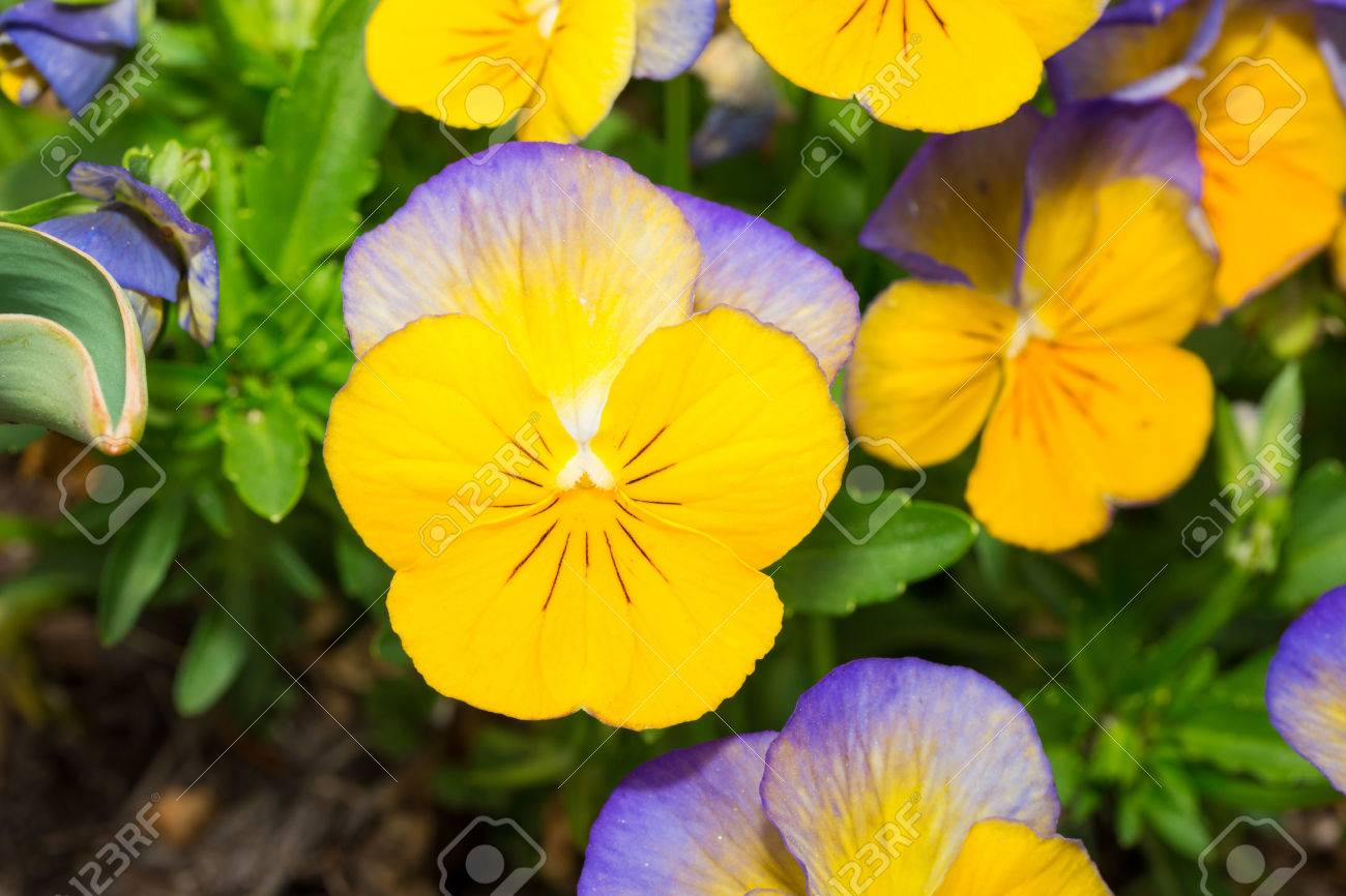 Viola Blue And Yellow Pansy Flower In Flower Garden Stock Photo