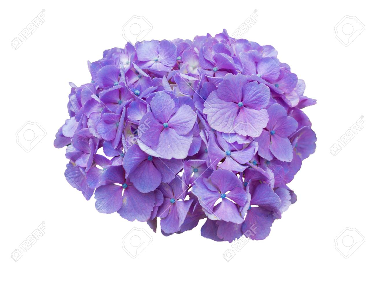 Beautiful Hydrangeas Purple Flowers Isolated On White Background ...