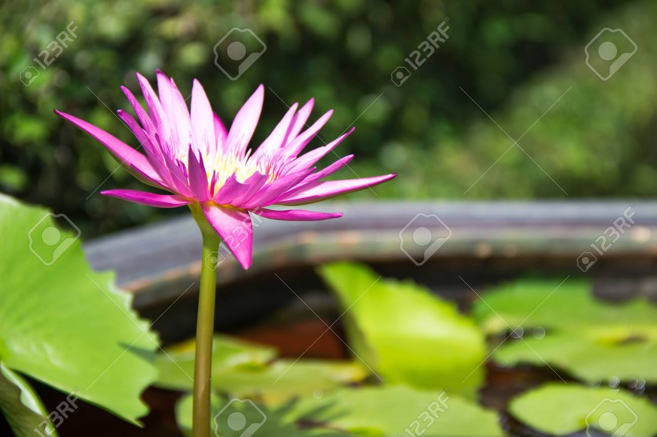 Pink Lotus In A Pots With Water In Garden Beautiful Flower Thailand
