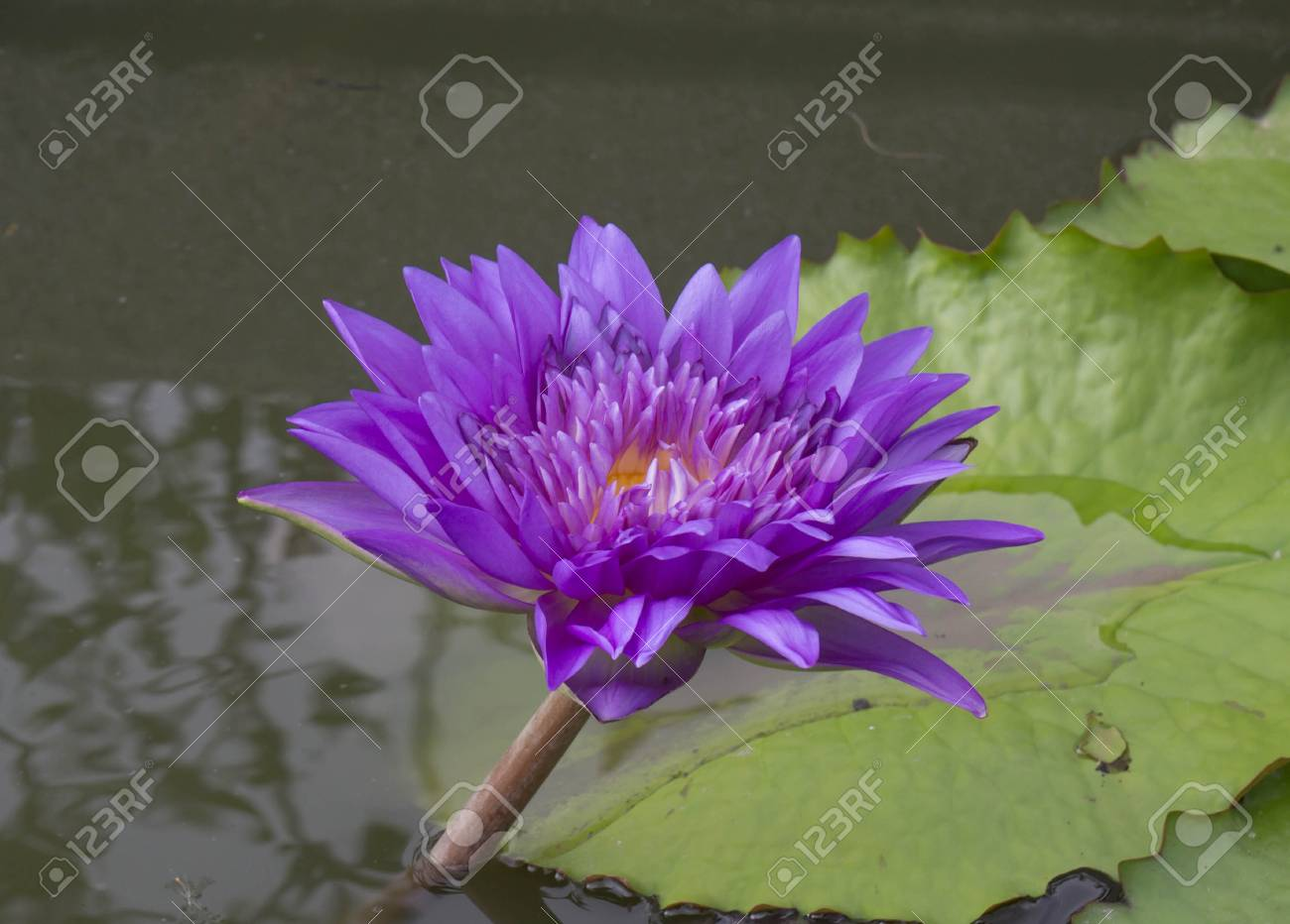 Dew on a lotus flower with lotus bud in the background stock photo dew on a lotus flower with lotus bud in the background stock photo 32753362 izmirmasajfo