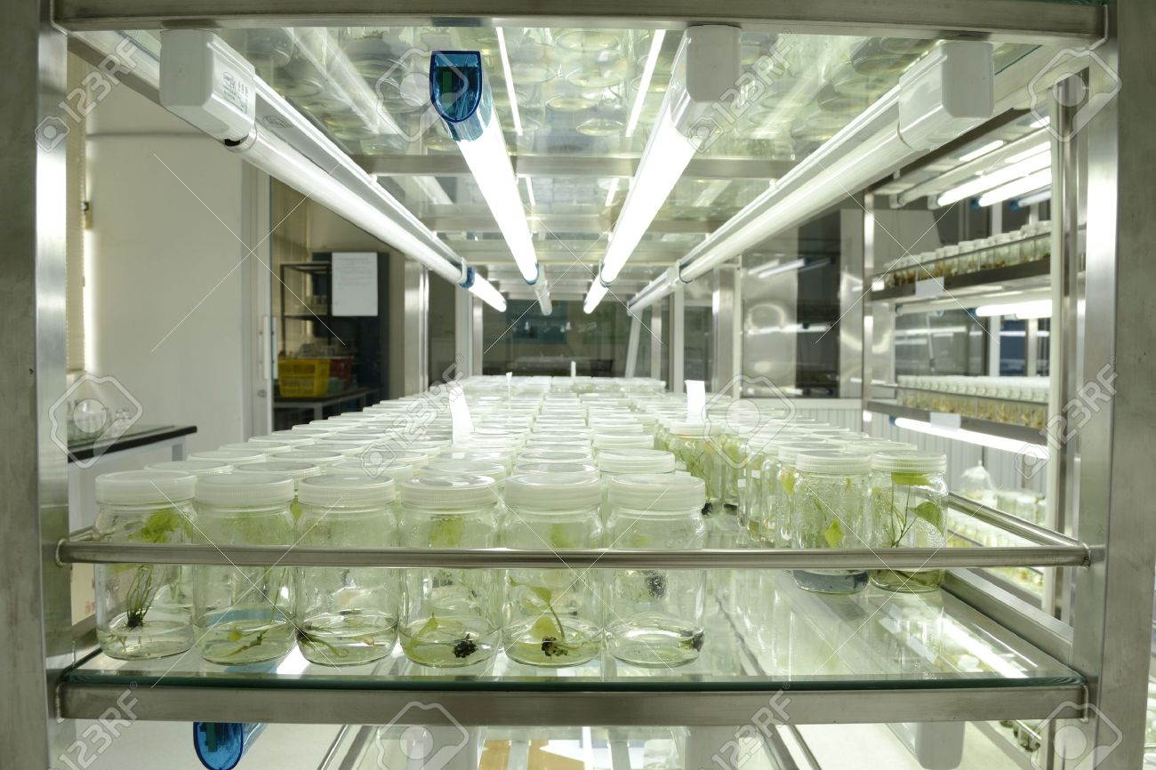 experiment of plant tissue culture in the laboratory - 15122322