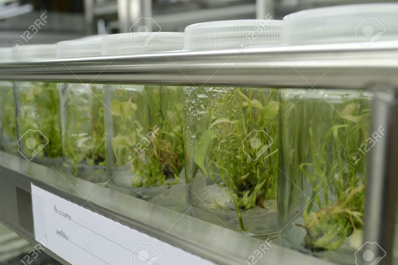 experiment of plant tissue culture in the laboratory - 15122292
